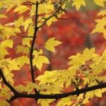 紅葉2015おすすめスポット!明治神宮外苑の紅葉時期やイベント情報