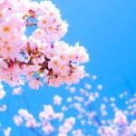 お花見2016神奈川でおすすめの穴場スポットを厳選してみた!